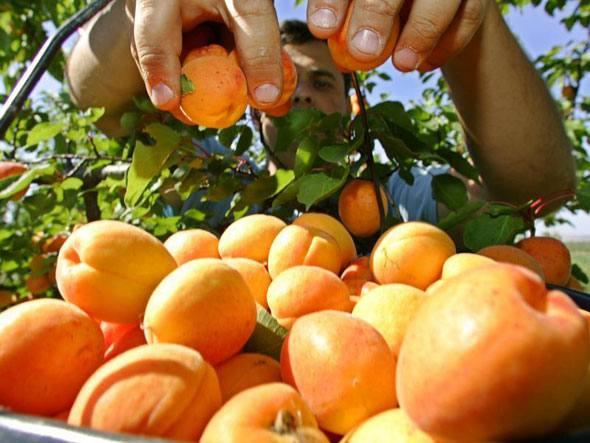 Выращивание абрикосов в средней полос 11