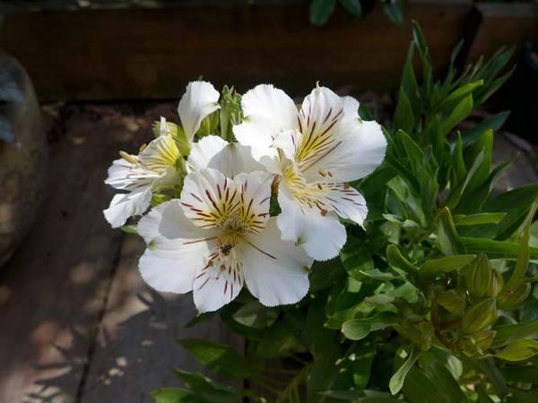 Альстромерия выращивание из семян 418