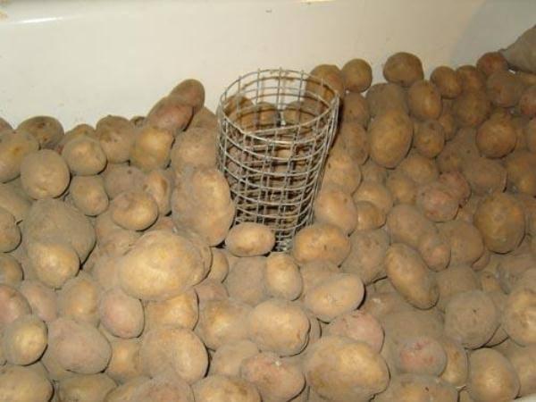 Можно ли в пищу употреблять подмороженный картофель