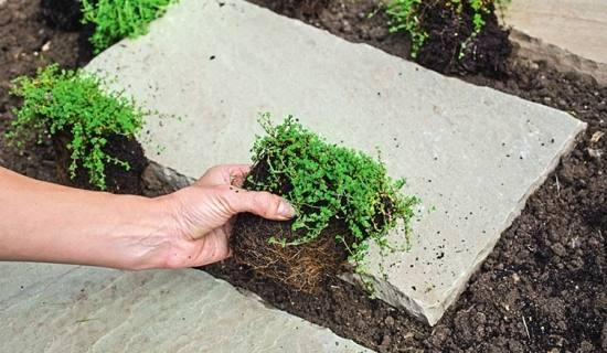Тимьян почвопокровный посадка и уход в открытом грунте